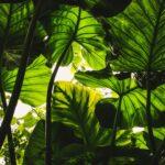 Oleander op stam